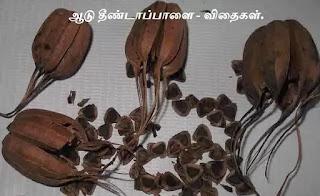 Aristolochia bracteolata seeds