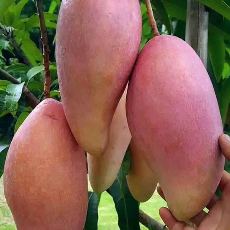 Bibit buah mangga red ivory super Bogor