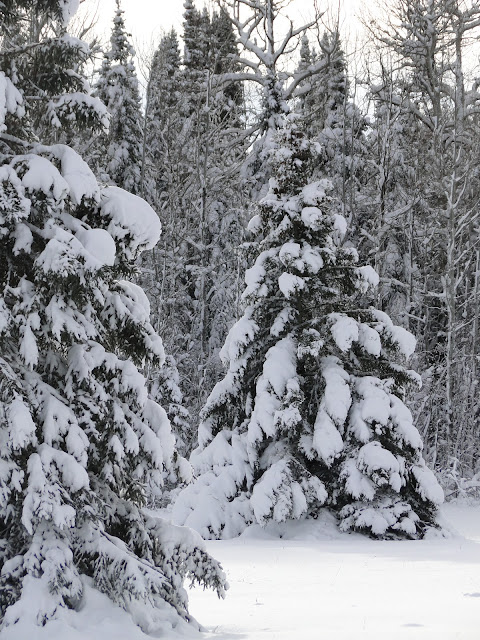 snow covered trees in our Forest