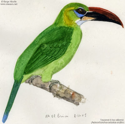 Groove billed Toucanet