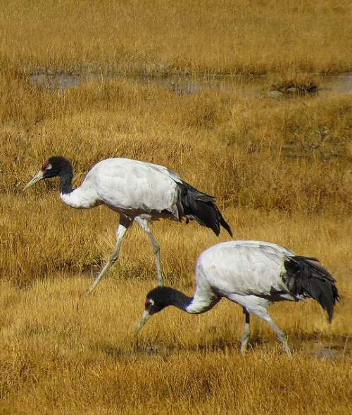 Indian birds - Black-necked crane - Grus nigricollis