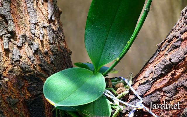 Phalaenopsis no galho em formato de forquilha