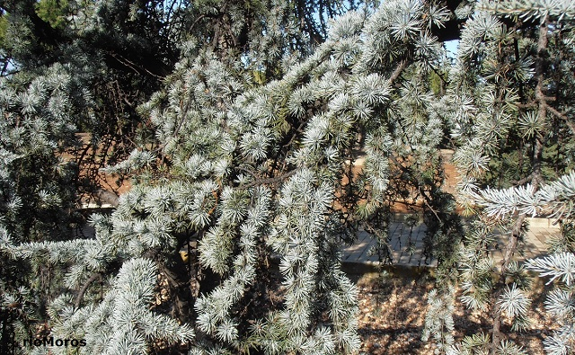 Hojas de Cedro blanco Cedrus atlantica var pendula