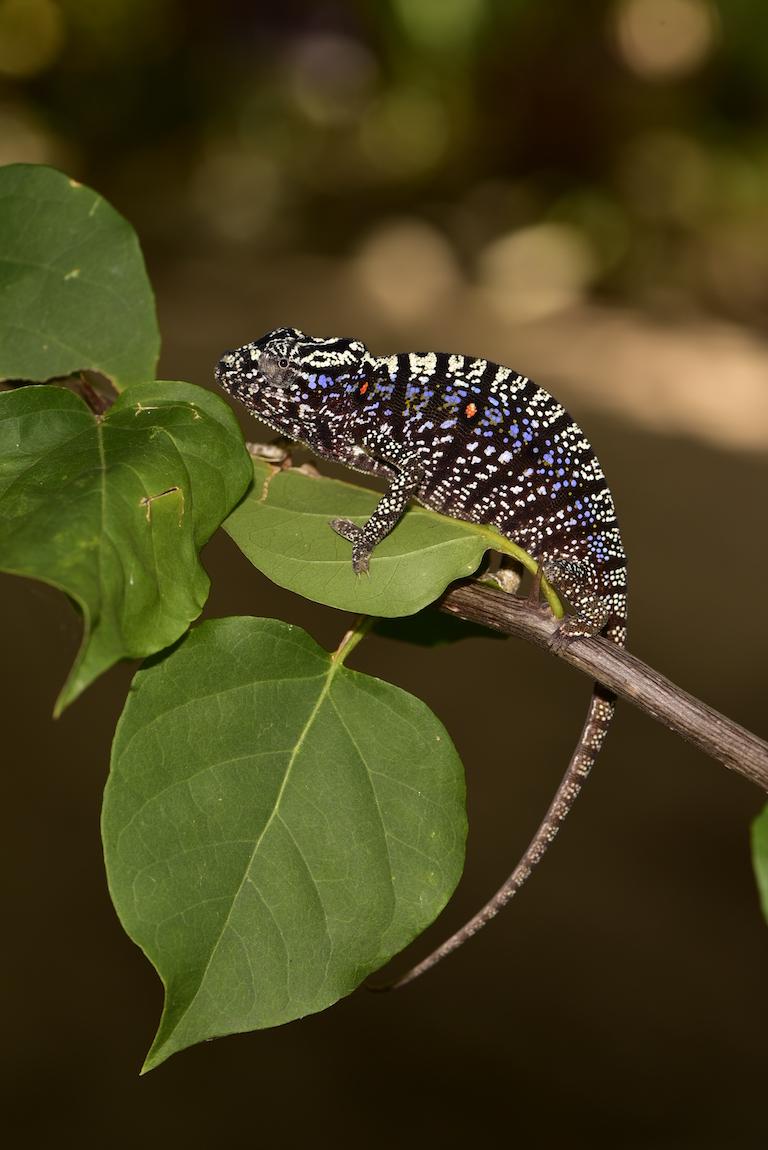 Un caméléon de Voeltzkow femelle qui a changé de couleur et de motif. Image de Kathrin Glaw.