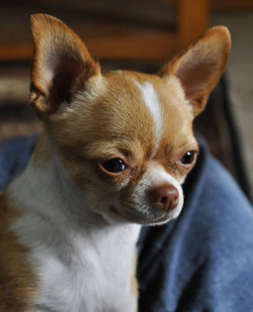How to adopt a Chihuahua from Chihuahua Rescue Victoria