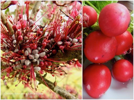 Floración del palo de fierro / Rabanitos - Chacra Educativa Santa Lucía