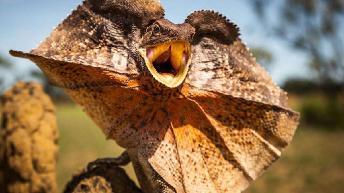Frilled-neck lizard fact, adaptations of Chlamydosaurus kingii