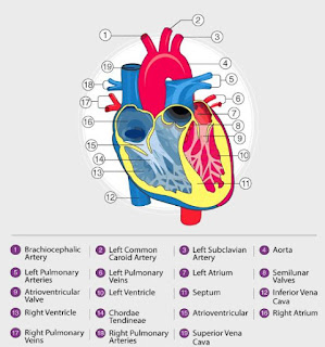 أجزاء القلب