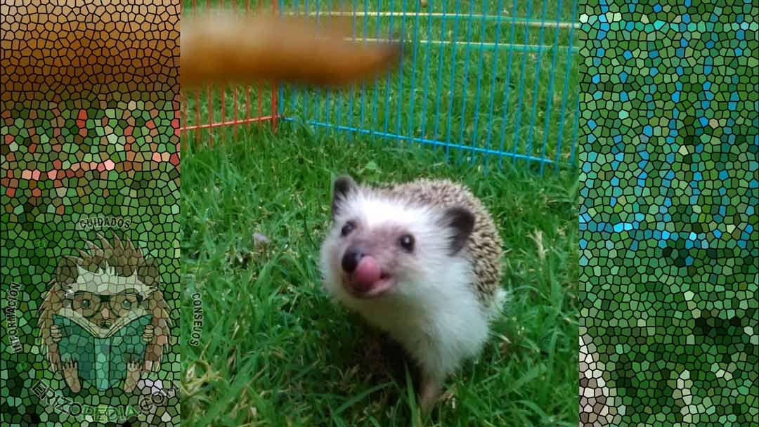 Foto de un erizo de tierra sacando la lengua