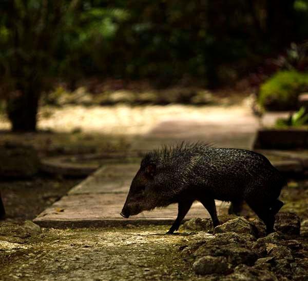 Un pekari, cerdo salvaje, en las ruinas mayas  de Calakmul. Los monos araña se desplazan  por la selva tirando los frutos a medio comer alimentando así a los pecaríes y a otros animales.