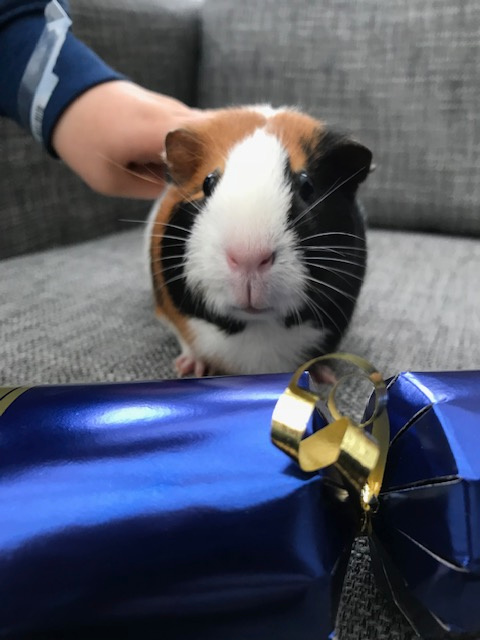 guinea pig and christmas cracker