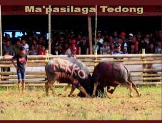 Ma'pasilaga Tedong Toraja