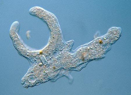 49++ Gambar hewan amoeba terbaru