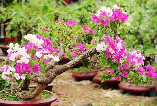 cara menyetek bunga kertas,kerajinan bunga kertas,cara menanam bunga kertas,bunga kertas krep,manfaat bunga kertas,ciri ciri bunga kertas,klasifikasi bunga kertas,nama latin bunga kertas,