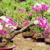 5 Metode Cara Menanam Bunga Kertas Agar Cepat Tumbuh