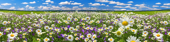 A field full of daisies and purple flowers under a summer sky.