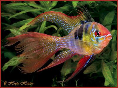 Ikan Ramirezi Slayer