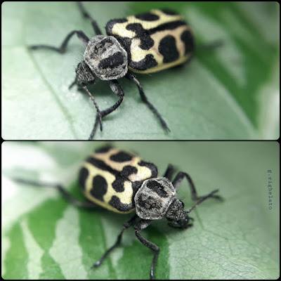Astilo moteado (Astylus atromaculatus)