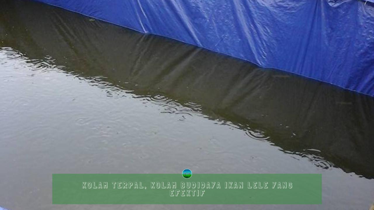 Kolam Terpal, Kolam Budidaya Lele yang Efektif