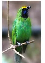 Burung Cucak Hijau Mbagong (diam)