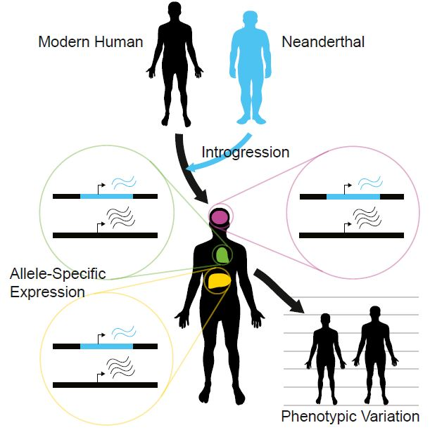 Neanderthal DNA contributes to human gene expression