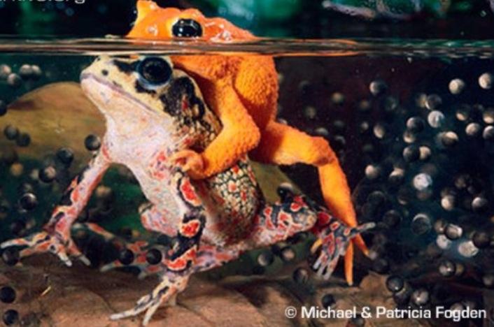 roam the golden toad