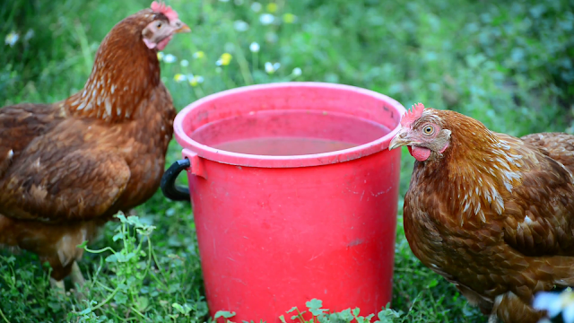 How to Keep Chickens Cool in Extreme Heat