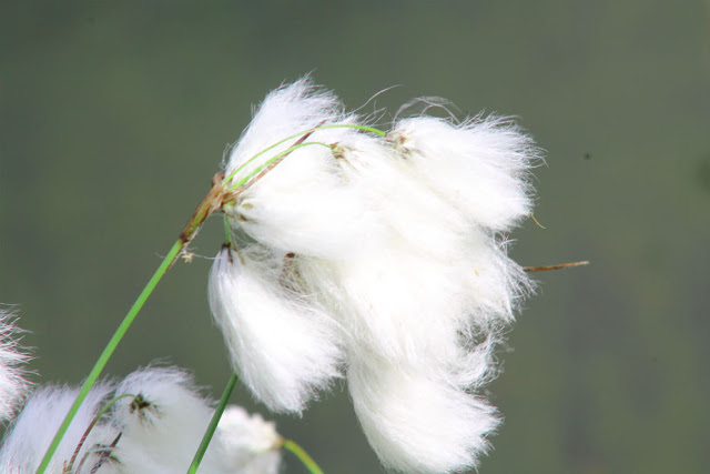 Lough Boora Bog Cotton