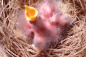 Cara Beternak Burung Jalak Suren Agar Berhasil CARA BETERNAK BURUNG JALAK SUREN AGAR BERHASIL