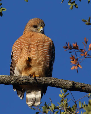 Photo of Red-shouldered hawk on branch