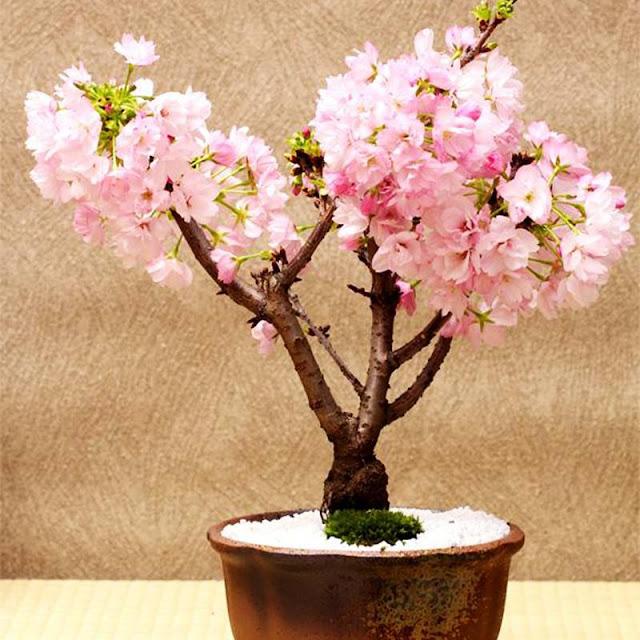 Growing Cherry Trees Bonsai