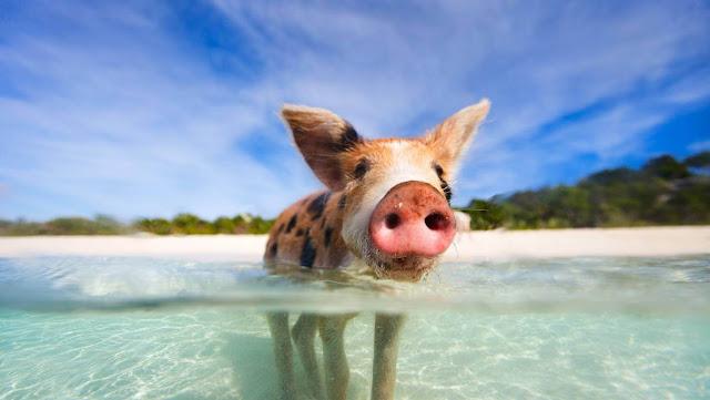 Nhật Bản có hòn đảo dành riêng cho mèo hay thỏ, Bahamas hấp dẫn khách du lịch bởi số lượng lợn hoang lớn. Đó là những vùng đất có nhiều động vật hơn người sinh sống.