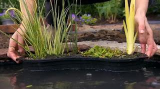 pond plant