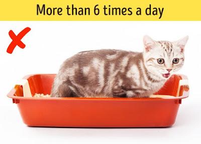 Mèo đi vệ sinh >6 lần/ngày là bất thường