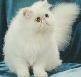 Daftar Harga Kucing Persia serta Anggora Januari 2014