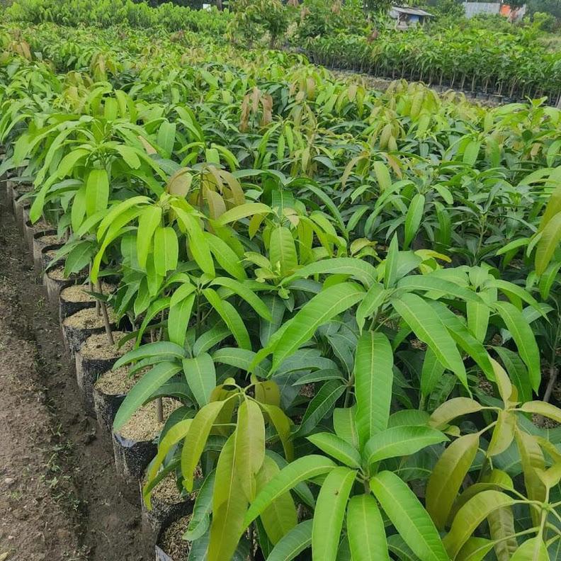 BELI 2 GRATIS 1 Bibit mangga irwin ungu okulasi bisa COD Sumatra Barat
