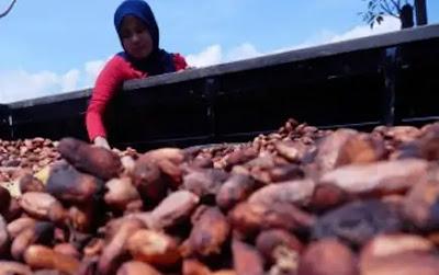 Industri Pengolahan Hasil Pertanian kakao