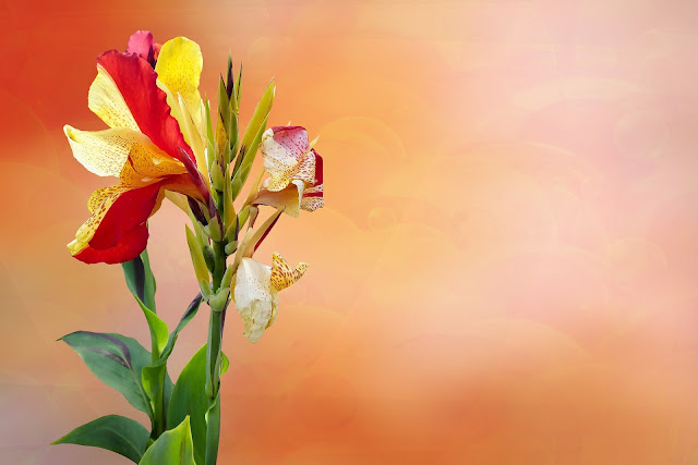 pink and yellow canna flower image