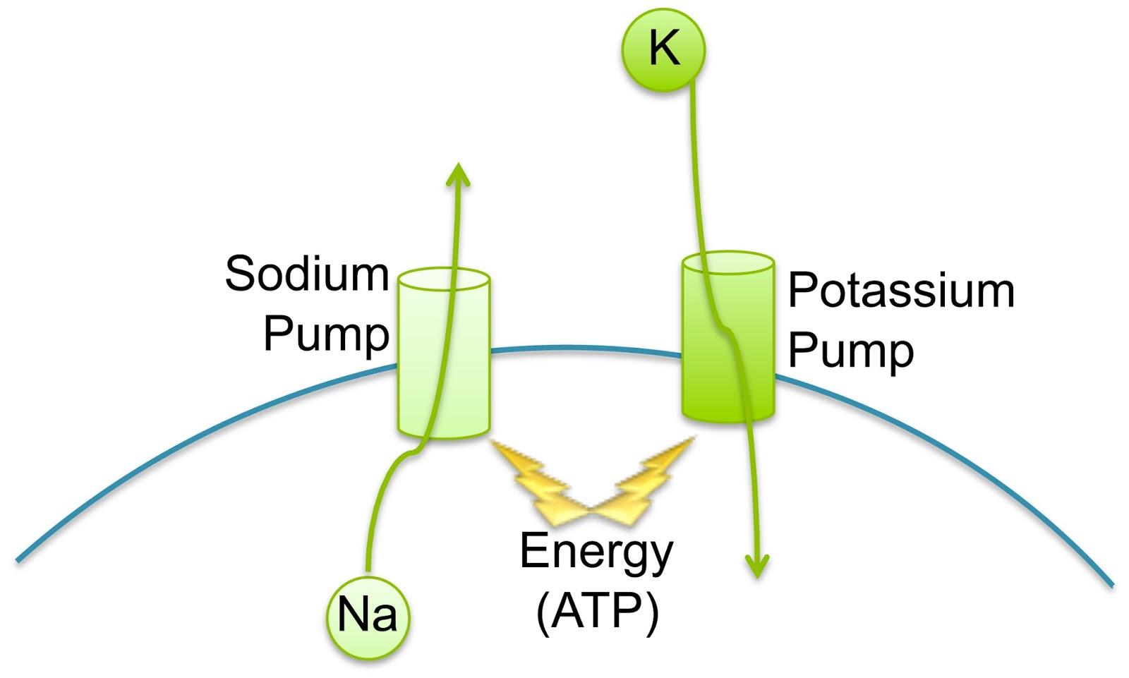 Sodium Potassium Pump ...