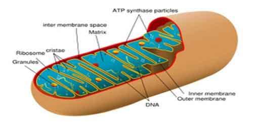 Apa yang dimaksud nukleolus dan fungsinya?