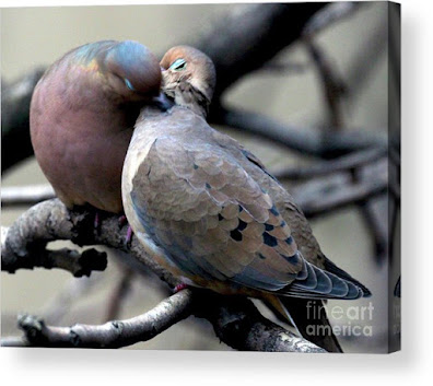 This is a screen shot of an acrylic print which I'm selling on Fine Art America. It features two very amorous Mourning doves. Info is @ https://fineartamerica.com/featured/cooing-mourning-doves-2-patricia-youngquist.html?product=acrylic-print