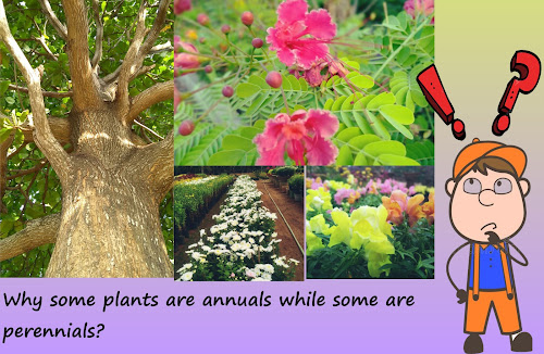 Flowering plants are classified as annuals, perennials, biennials. This classification applies to herbaceous plants while woody trees lie in separate category. Annuals complete their life cycle in single season leaving seeds as dormant kernels. The entire plant body including leaves, roots and stems wither away. The seeds start next generation on advent of favorable environmental conditions. Annuals concentrate their entire energy in building the plant body, reproduction and amplifying their number. This behavior where an organism reproduces for single time throughout its life cycle is called monocarpic or semelparous.