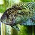 Jack Dempsey Fish Care Sheet