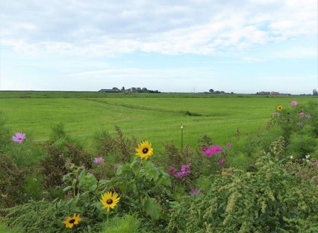 prati fioriti nella campagna di Marken