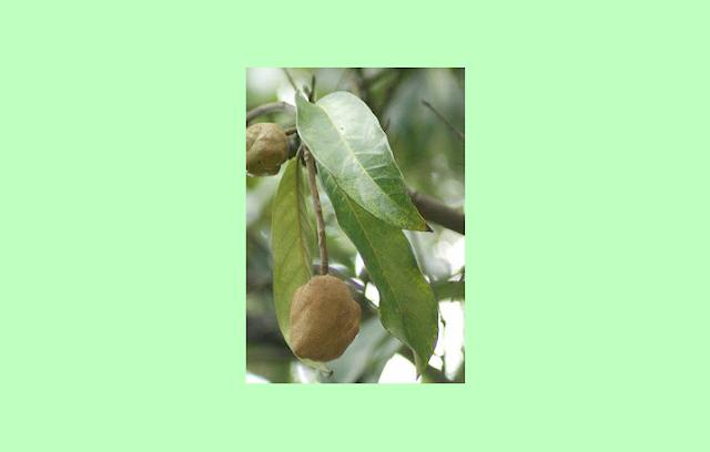 Kokoleceran (Vatica bantamensis)