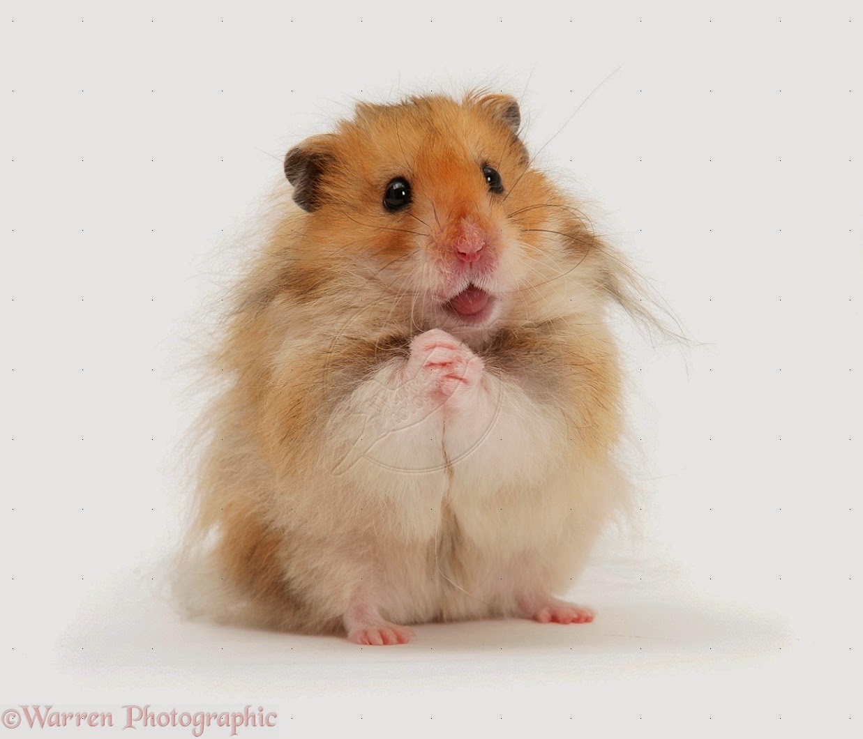 All about How Long Do Hamsters Live A Guide To Hamster Life