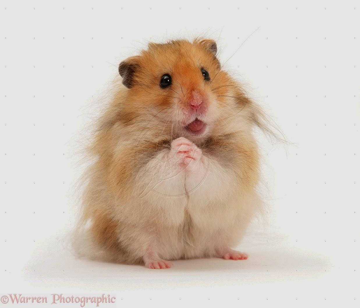 Hamster Syrian Adalah Salah Satu Hamster Dengan Ukuran Paling Besar Diantara Yang Lain Cambell Winter White Roborovski