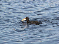 Surf Scoter holding a crab – Elk River, Humboldt Cy, CA – Dec. 28, 2009 – J.P. Smith