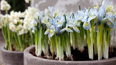 Iris enanos de floración invernal