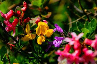 Tanaman dan bunga Fenugreek